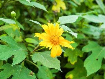 """Die Blumen """"Margerites"""" säumen als haushohe Büsche kilometerweit die Straßen und Wege durch den Urwald."""